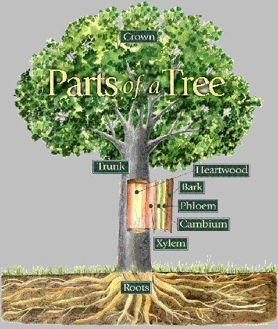 partsofatree1 jpgXylem And Phloem Tree