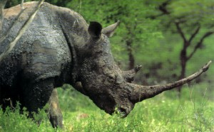 rinoceronte11